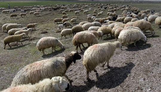 sheep_009B.jpg