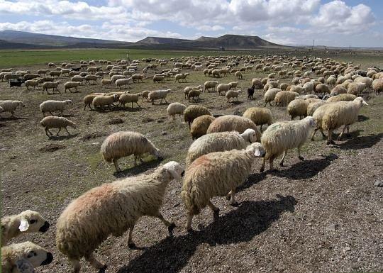 sheep_012A.jpg