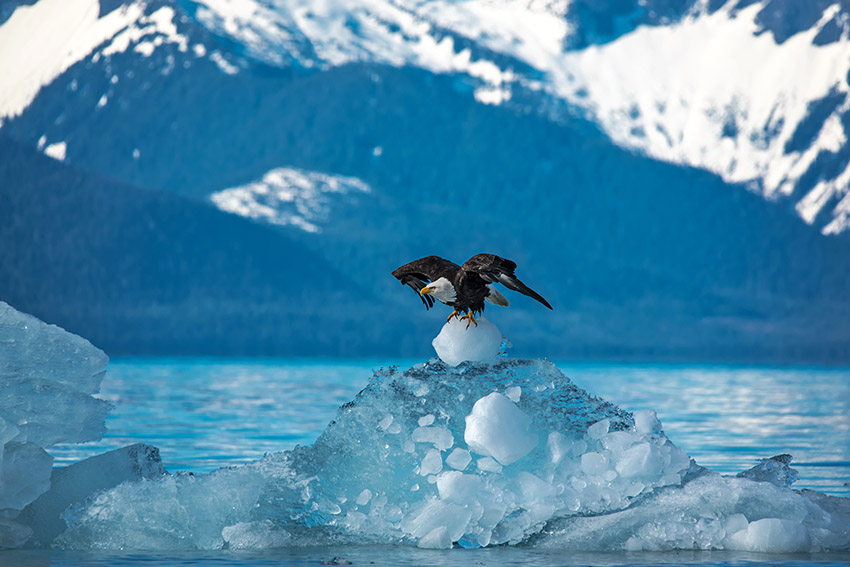 bald-eagle-taking-off-from-iceberg-petersburg-ranger-district-tongass-national-forest.jpg