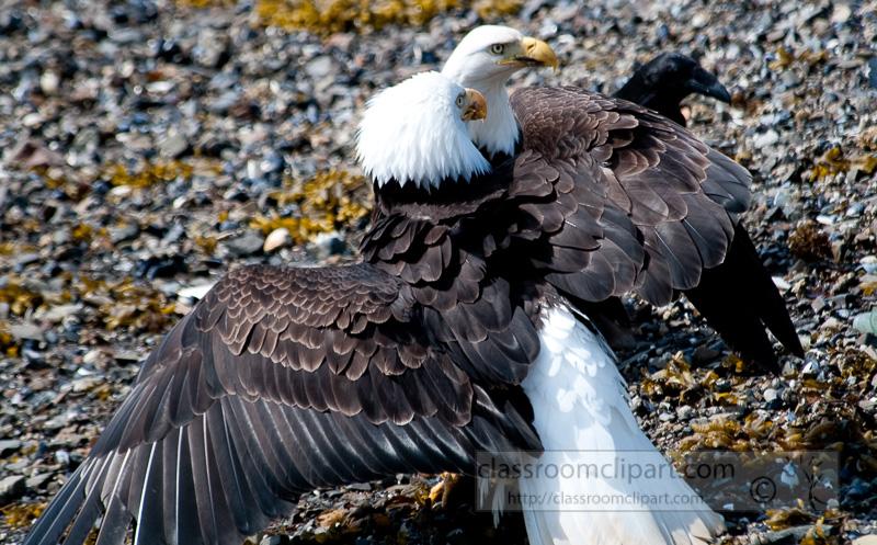 eagles-icy-straits-point-alaska-448.jpg