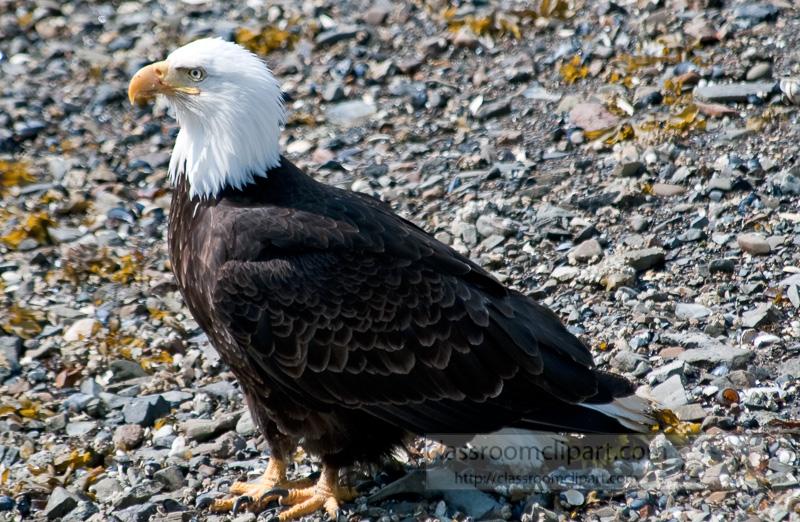eagles-icy-straits-point-alaska-483.jpg