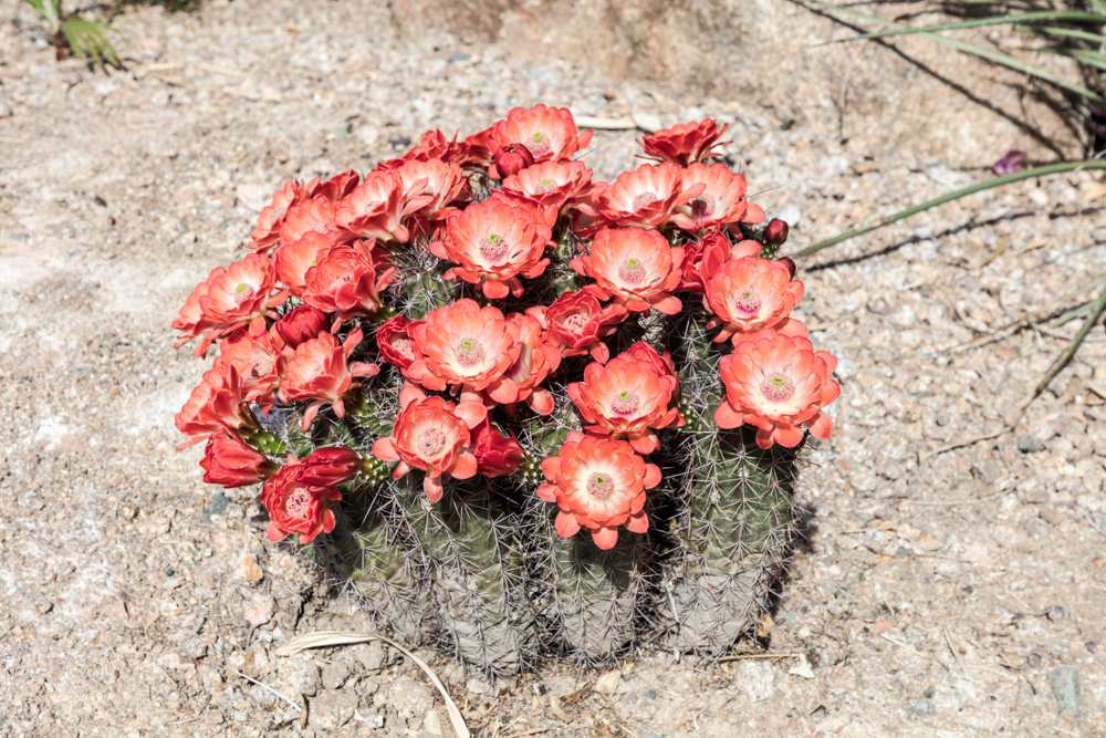 blooming-cactus-in-a-patch-of-desert-in-maricopa-county-north-of-phoenix-arizona.jpg