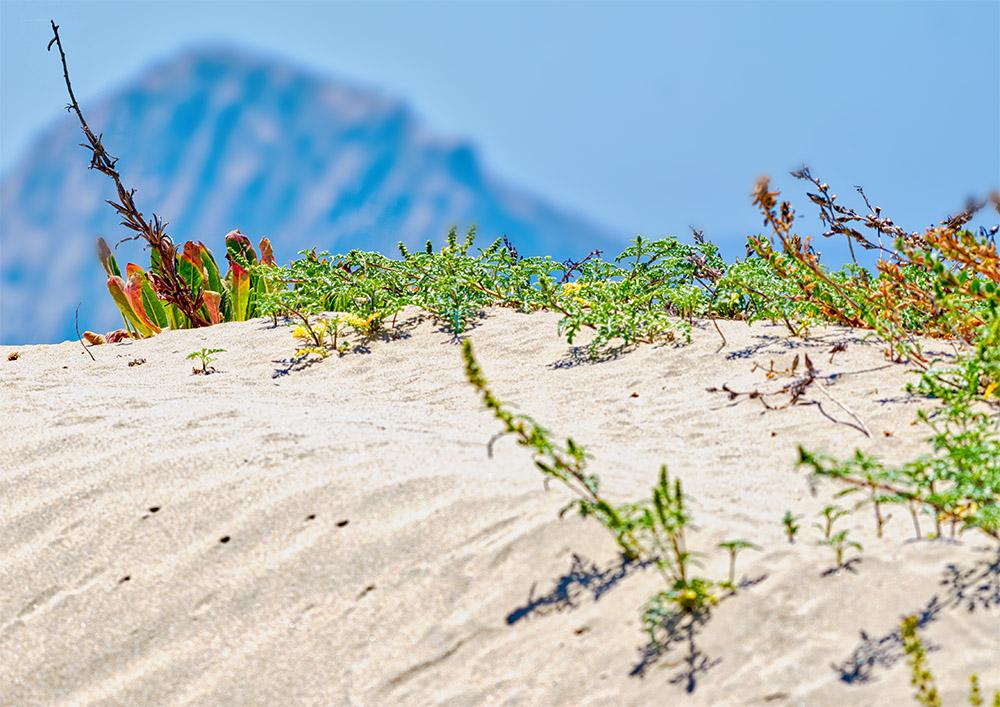 sandy-beach-with-plants-growing-morro-rock-in-background.jpg