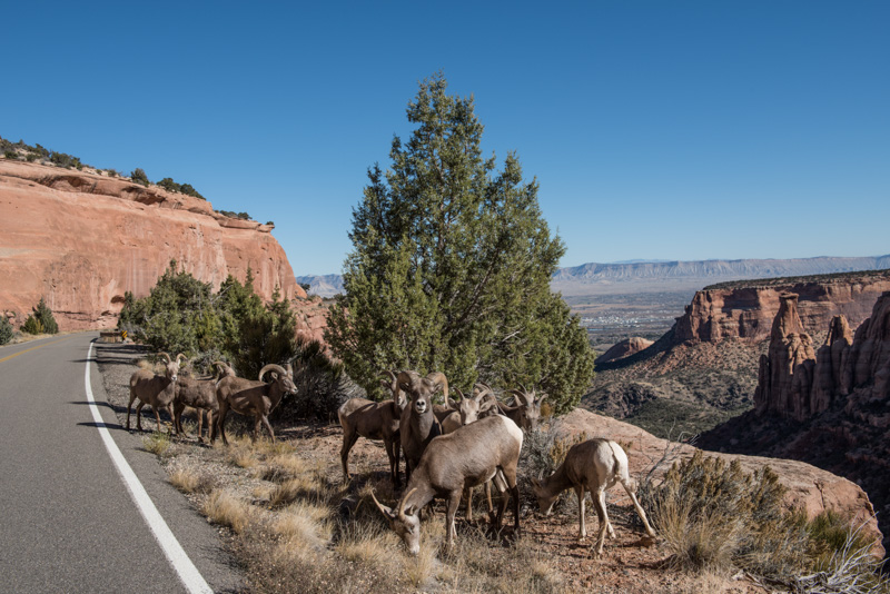 bighorn-sheep-along-a-roadway-in-colorado-national-monument.jpg