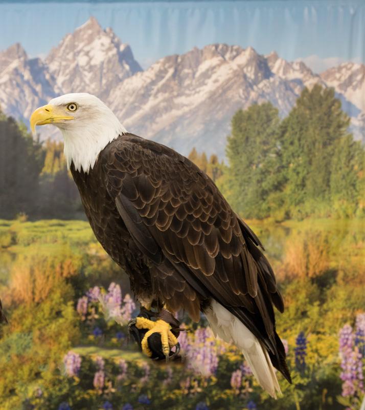 female-bald-eagle.jpg
