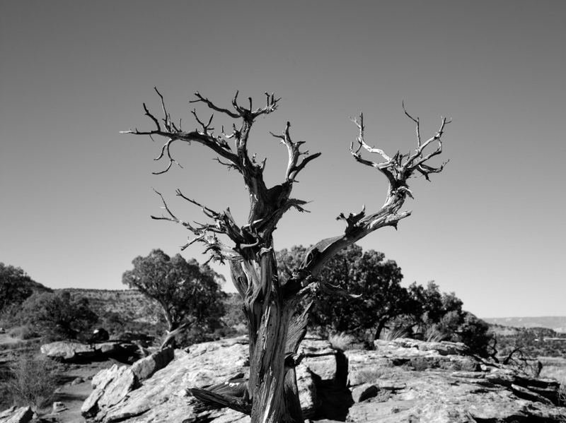 old-tree-at-colorado-national-monument.jpg