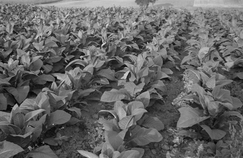 tobacco-near-windsor-locks-connecticut-1937.jpg