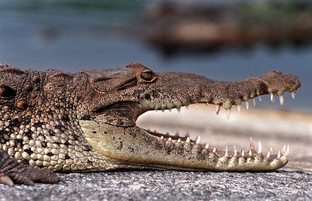 croc-at-everglades-national-park-florida.jpg