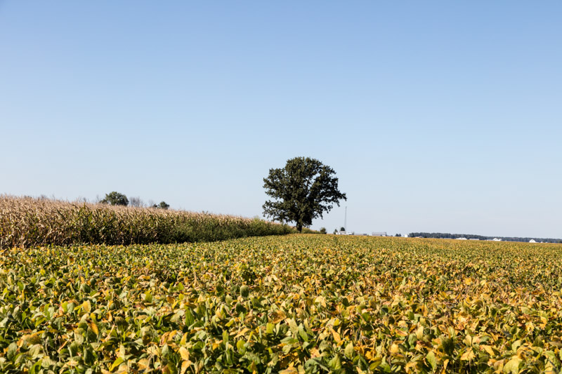 soybean-and-corn-fields-ready-for-harvesting-carroll-county-indiana.jpg