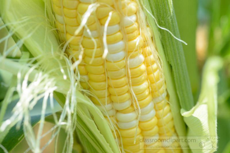 closeup-photo-ear-of-freshly-picked-corn-with-husk-image-image-0118.jpg