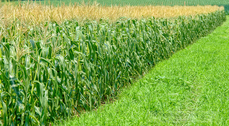 rows-of-corn-plants-in--corn-field-photo-image-156.jpg