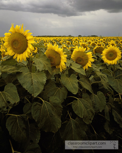 kansas_sunflower.jpg