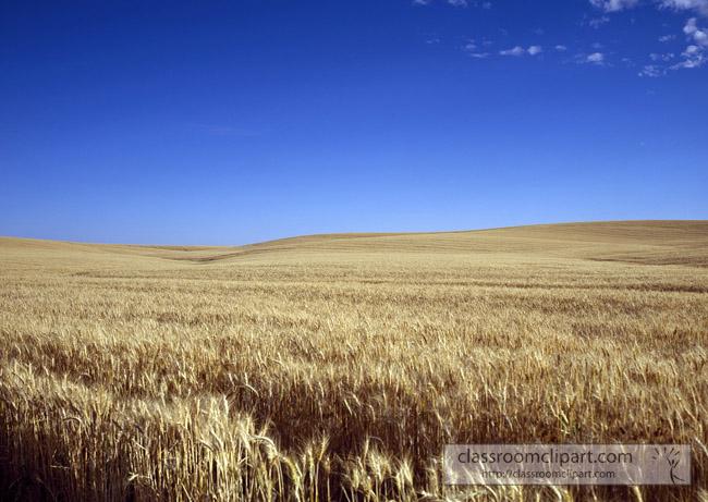 kansas_wheat_growing.jpg