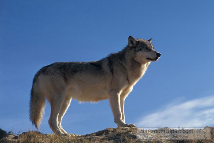 montana_wolf.jpg