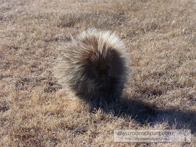 one_porcupine_walking.jpg