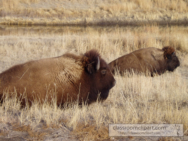 two_bison_plains.jpg