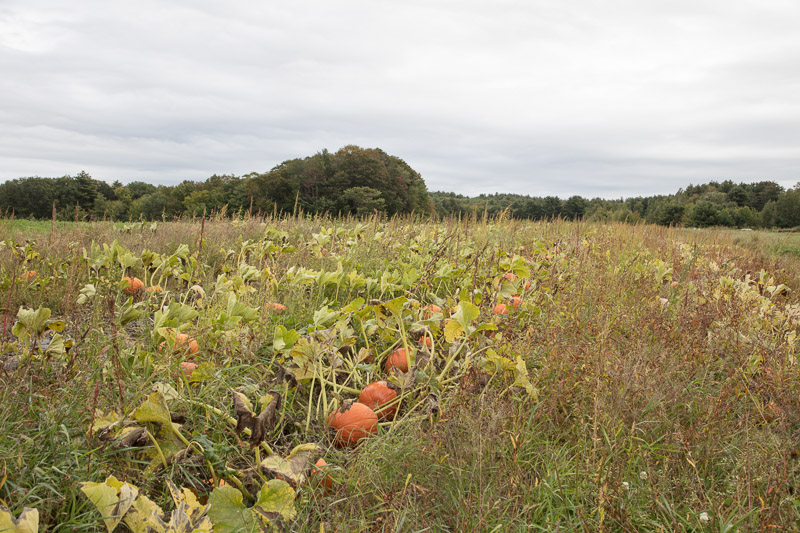 photo-pumpkin-patch-on-moulton-farm-near-meredith-new-hampshire.jpg