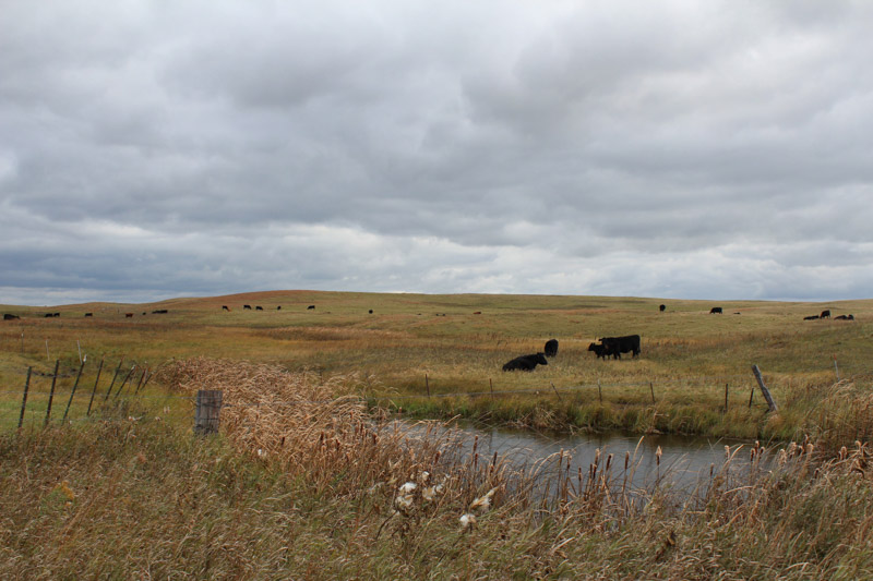 photo-cattle-grazing-on-grassland-north-dakota.jpg