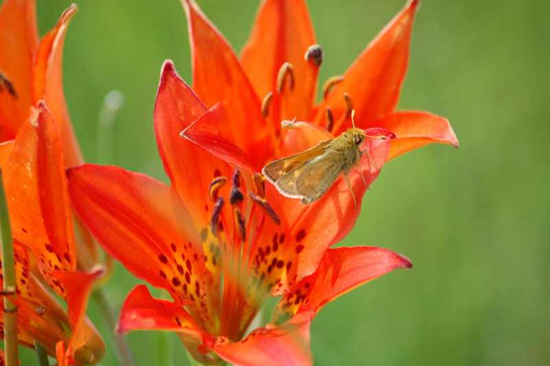 photo-dakota-skipper-insect-on-prairie-lily-north-dakota.jpg