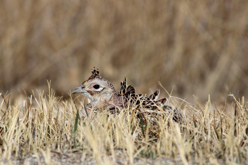photo-female-ring-necked-pheasant-in-fields-of-north-dakota.jpg