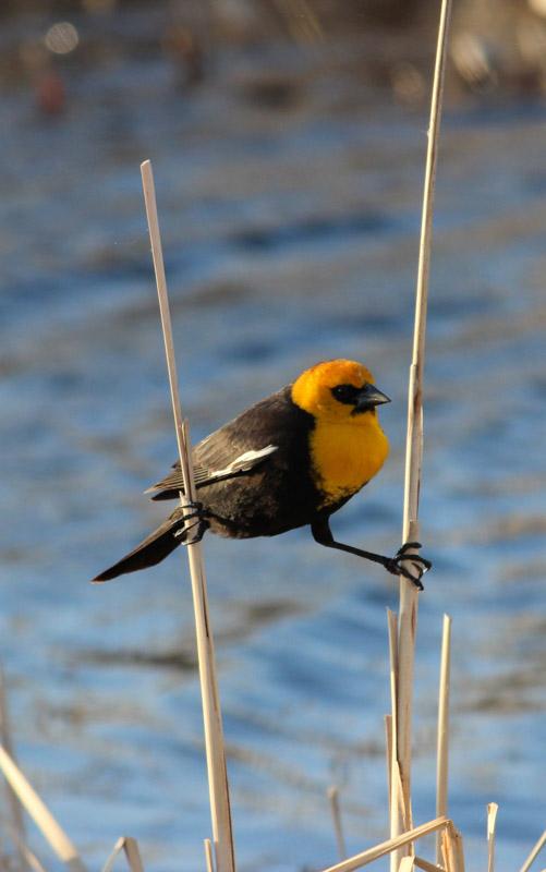 photo-yellow-headed-blackbird-north-dakota.jpg