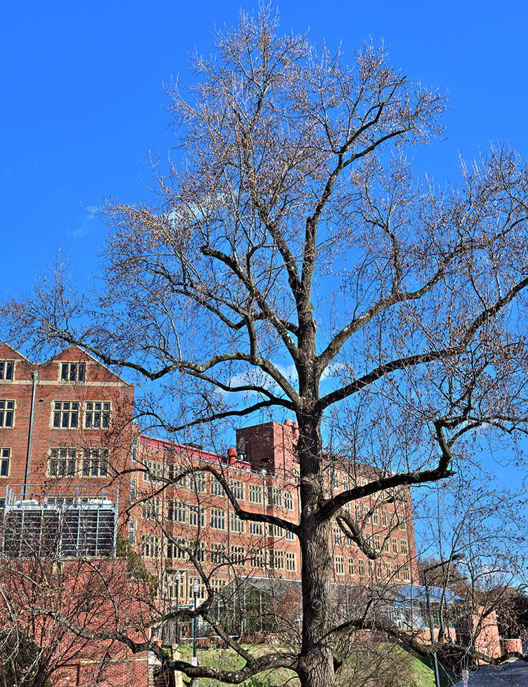large-tree-on-campus-of-university-tennessee-knoxville.jpg