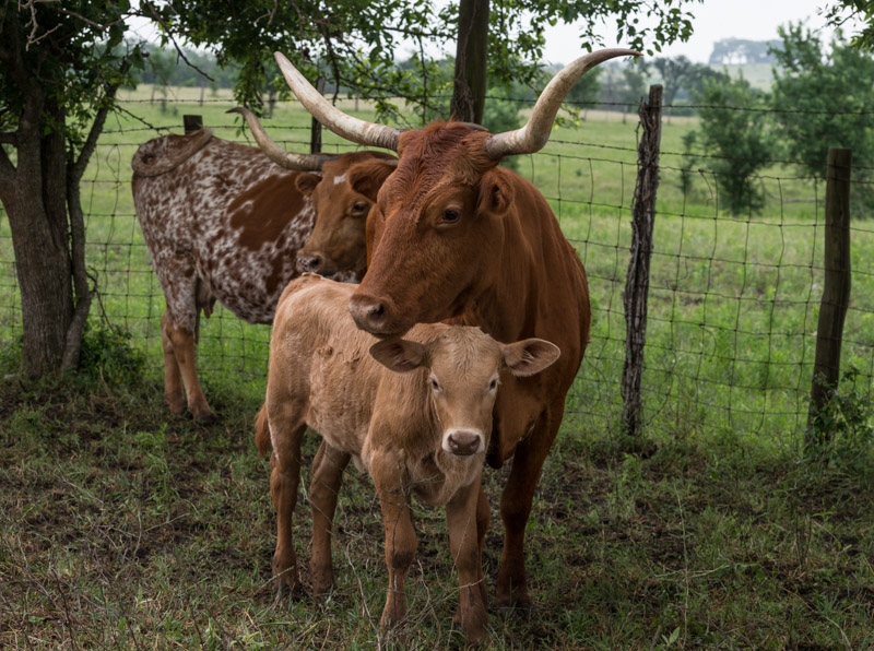 photo-mother-longhorn-and-her-calf.jpg