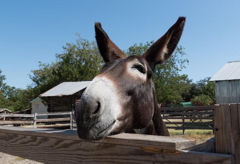 photo-mule-at-the-heritage-farmstead-museum-2.jpg