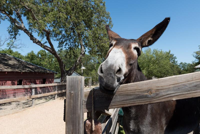 photo-mule-at-the-heritage-farmstead-museum-3.jpg