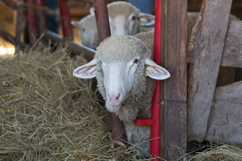 sheep-at-the-dairy-farm.jpg