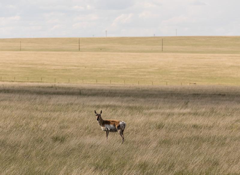 a-lone-antelope-on-the-laramie-plains-wyoming.jpg