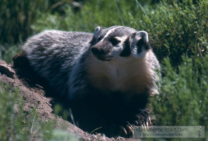 badgers_wyoming.jpg