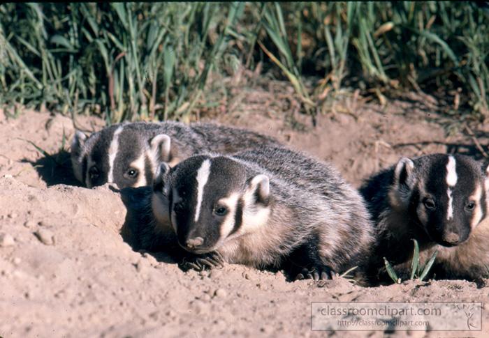 badgers_wyoming_2.jpg