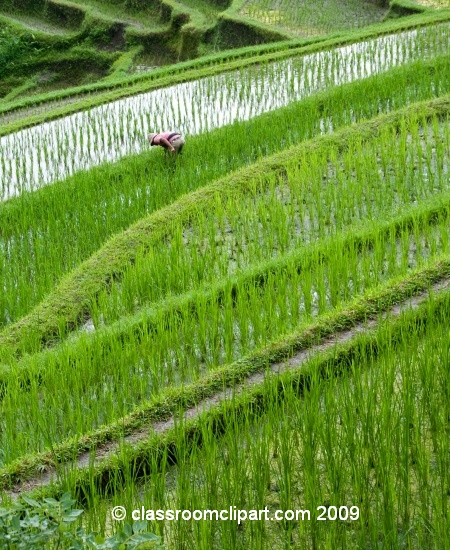 rice_fields_69.jpg
