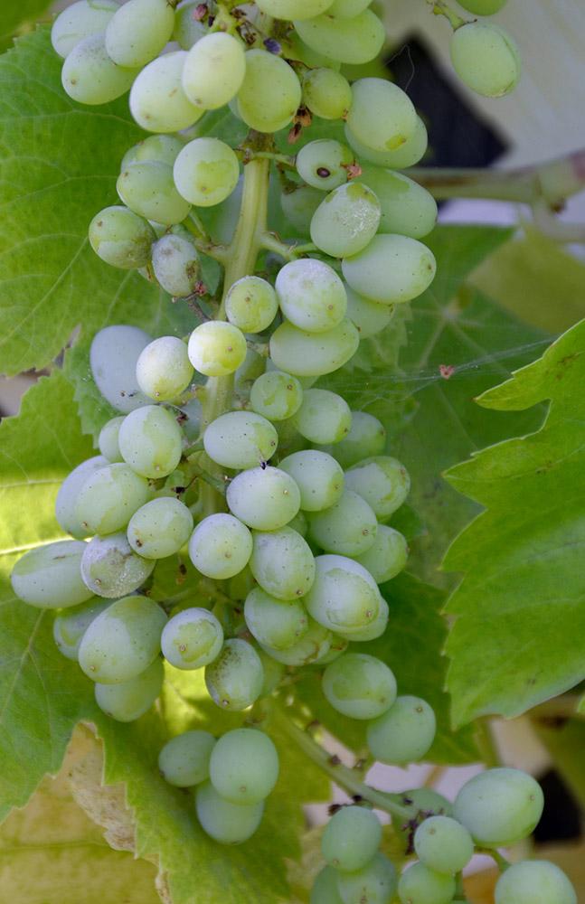 grape_bunch_on_vine.jpg