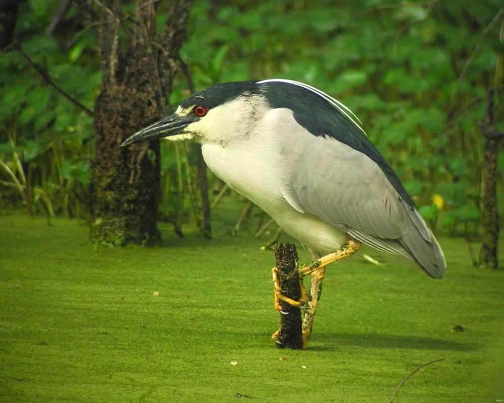 black-crowned-night-heron-swamp.jpg