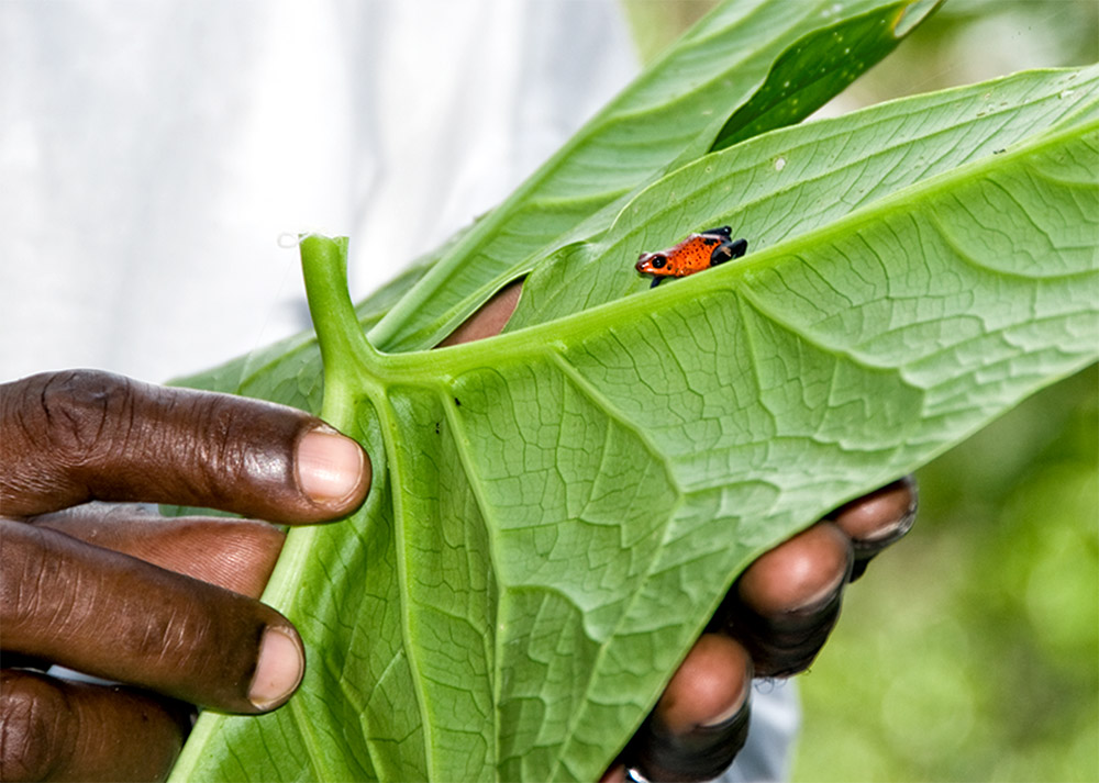 man-holding-leaf-with-red-tree-frog-photo.jpg