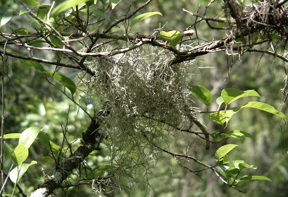 spanish-moss-growing-on-tree.jpg