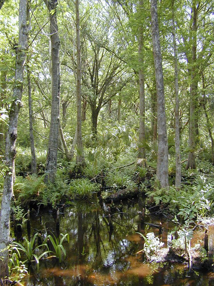 trees-ferms-in-cypress-maple-swamp.jpg