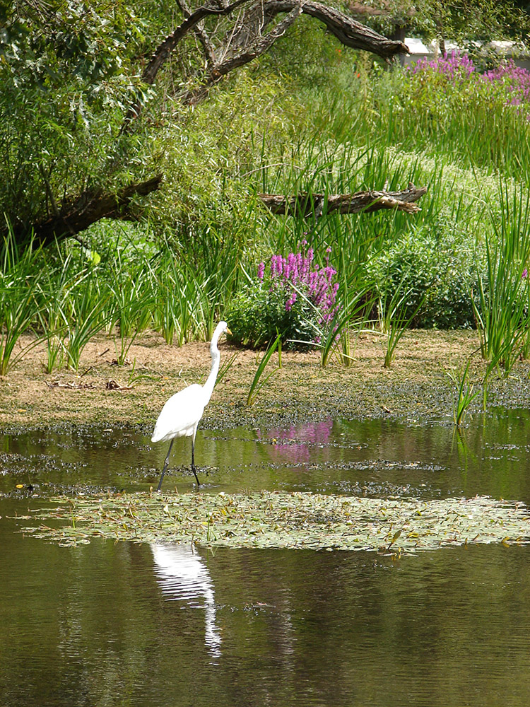 white-heron-wading-in-the-wetlands-in-ironia-new-jersey.jpg