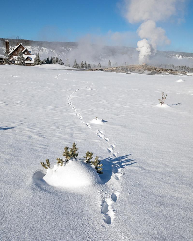 snow-convered-wolf-tracks-at-old-faithful-geyser.jpg