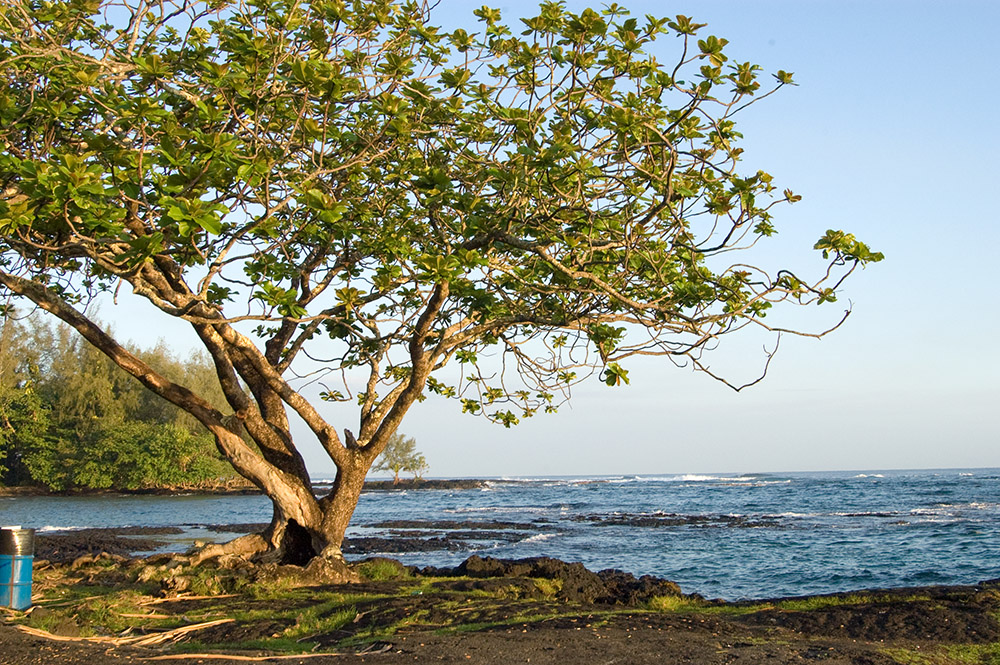 single-tree-growing-along-the-shore-surrounded-by-lava-hawaii.jpg