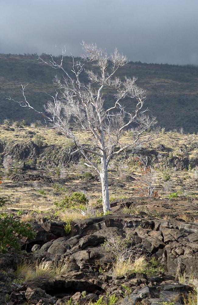 single-tree-growing-in-lava-field-hawaii-volcano-national-park.jpg
