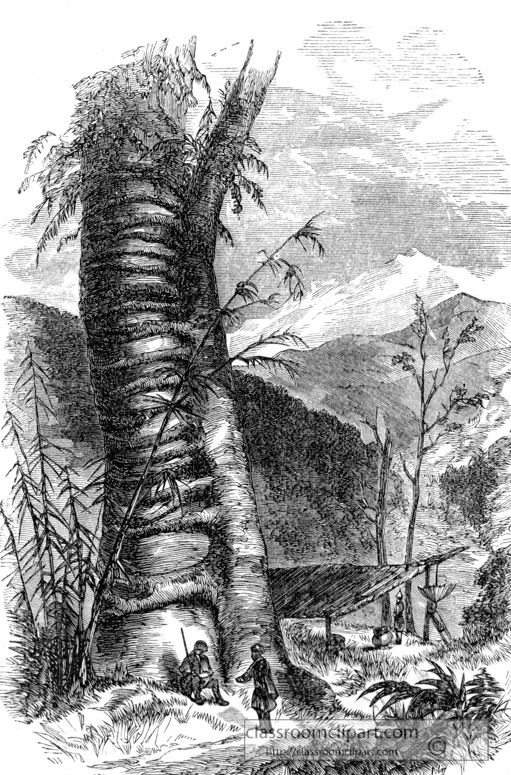 climbing-plant-in-himalayas-historical-illustration.jpg