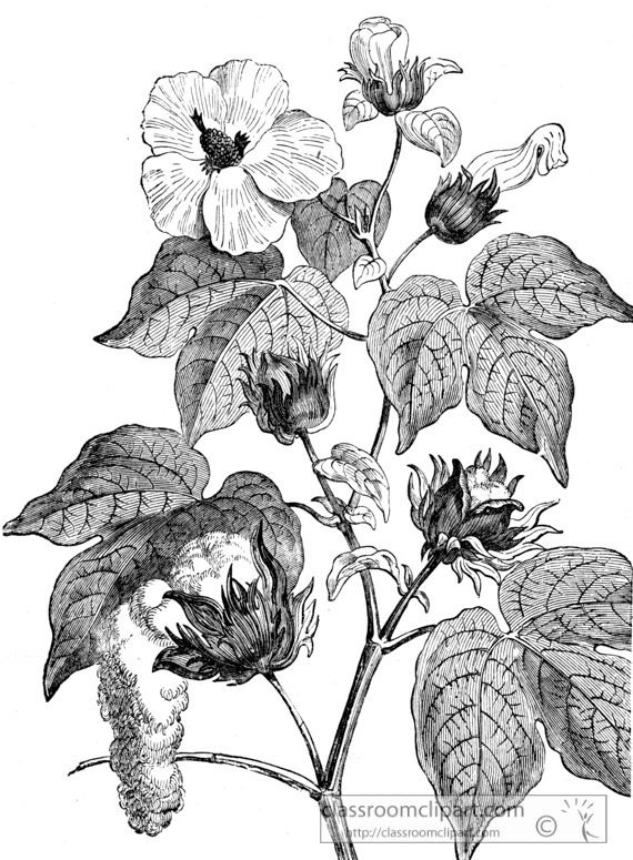cotton-tree-historical-illustration.jpg
