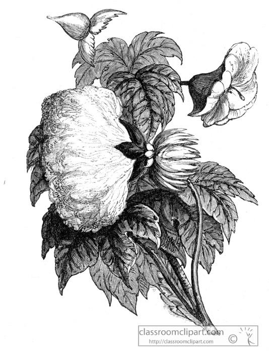 cotton-plant.jpg