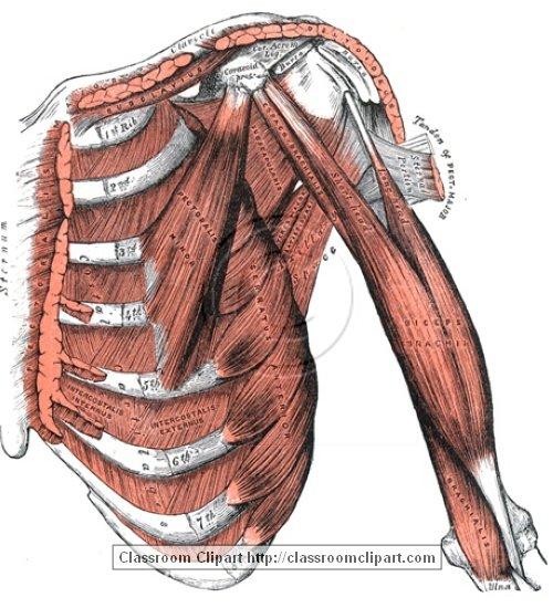 anatomy_illustLC_0438S.jpg