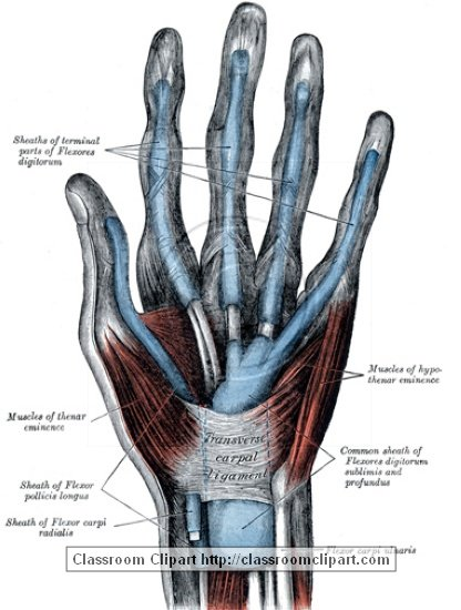 anatomy_illustLC_0458S.jpg