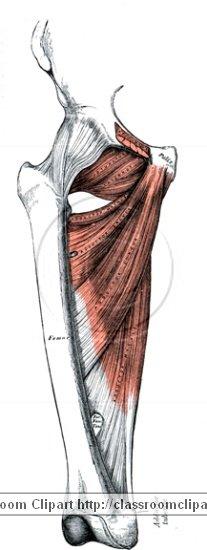 anatomy_illustLC_0473S.jpg