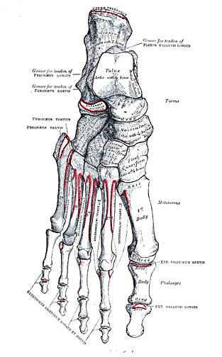 anatomy_illust_264A.jpg
